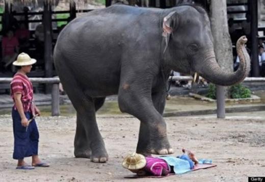 Các chú voi đang mát-xa cho du khách.