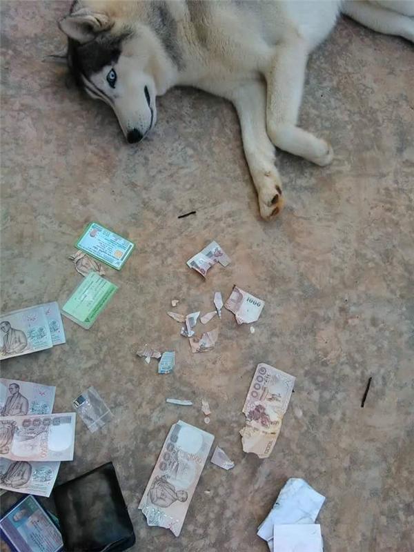 """Thậm chí một số tờ tiền cũng bị """"Husky nhà người ta"""" cắn xé nát bét cả ra."""