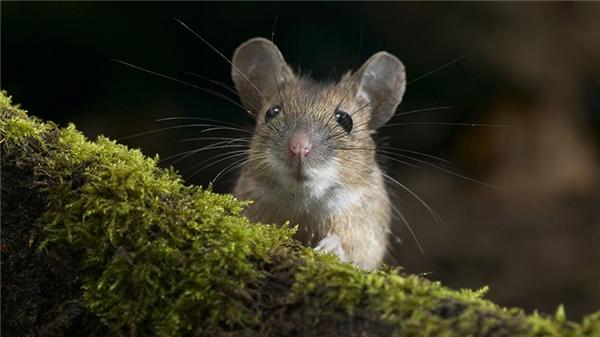 Chuột xuất hiện trong nhà vào ban trưa là điềm sẽ hao tài