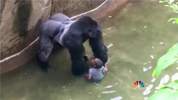 chú khỉ bị giết với lí do gây nguy hiểm cho cậu bé 4 tuổi