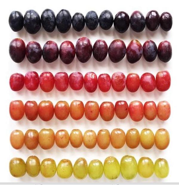 14. Những trái nho từ xanh đến chín được xếp đặt một cách hoàn hảo.