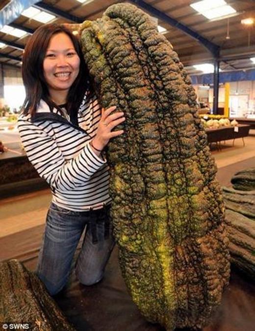 Quả bí ngòi nặng 65kg, gấp 30 lần so vớibí thông thường