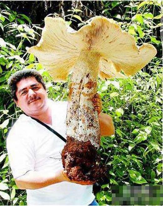 Cây nấm khổng lồ nặng 20kg, cao 70cm, mũ nấm có đường kính 70cm