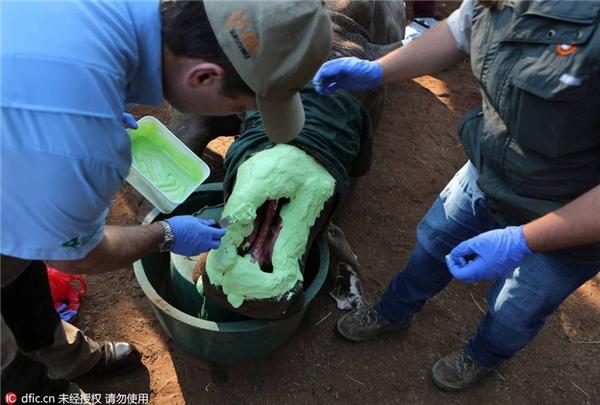Xót xa chú tê giác bị bọn săn trộm cắt sừng và một nửa khuôn mặt