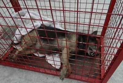 Do chấn thương quá nặng, con chó đã chết trên đường đi cứu chữa.