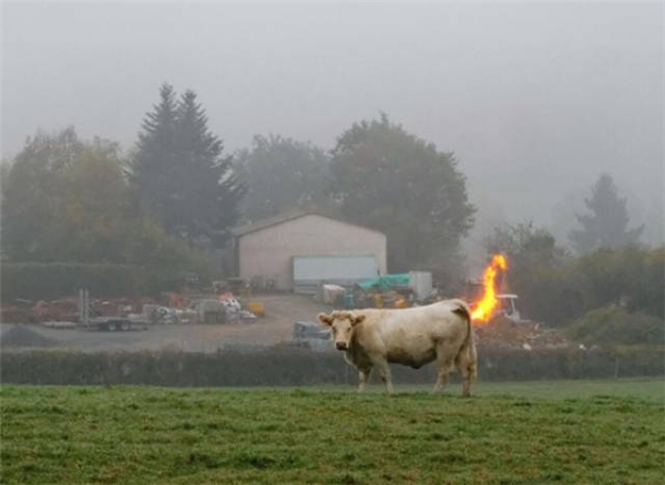Công lực của chú bò này thật là thâm hậu.