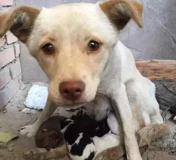 Dù bị thương nặng nhưng chó mẹ vẫn yêu thương và chăm lo cho con.