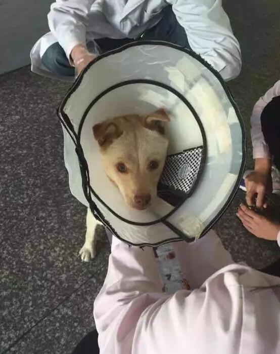 Để tránh cho chó mẹ khỏi liếm, nhân viên đã đeo miếng tròng cổ cho nó.