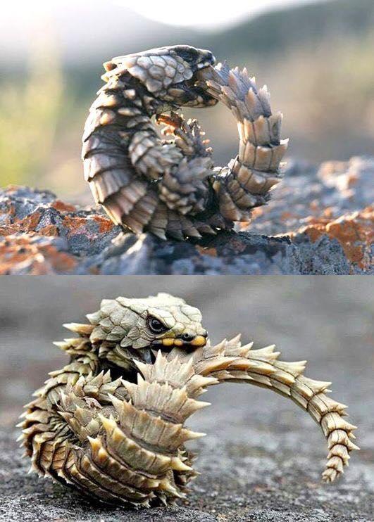 thằn lằn smaug giganteus