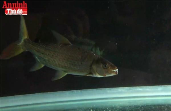 Sự xuất hiện của loài cá nước ngọt kì dị này giữa lòng Thủ đô đang khiến dư luận xôn xao. (Ảnh: Anninhthudo)