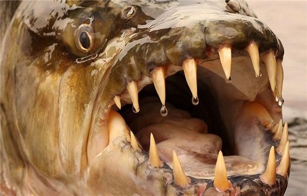 Cận cảnh hàm răng sắc như dao găm vô cùng đáng sợ của cá hổ Congo. (Ảnh: Internet)