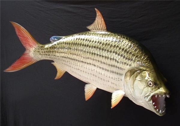 """Được mệnh danh là một trong những loài thuỷ quái nước ngọt kinh dị nhất hành tinh, việc nó trở thành cá cảnh nuôi trong nhà khiến nhiều người không khỏi """"hãi hùng"""". (Ảnh: Internet)"""