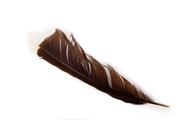 Đây là chiếc lông chim có giá trị nhất trên thế giới, vì nó đã từng thuộc về một loài chim Huia, loài hiện đã tuyệt chủng.