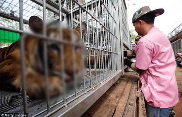 Trong lần kiểm tra này, giới chức bảo vệ động vật hoang dã đã di chuyển hơn 137 con hổ còn sống ra khỏi đền thờ.
