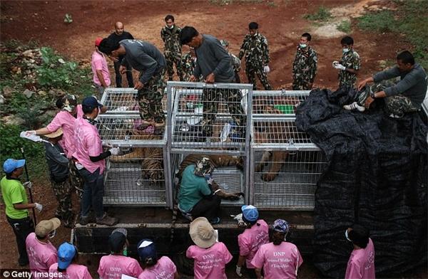 Phát hiện thêm 20 bình ngâm hổ tại đền thờ hổ nổi tiếng Thái Lan