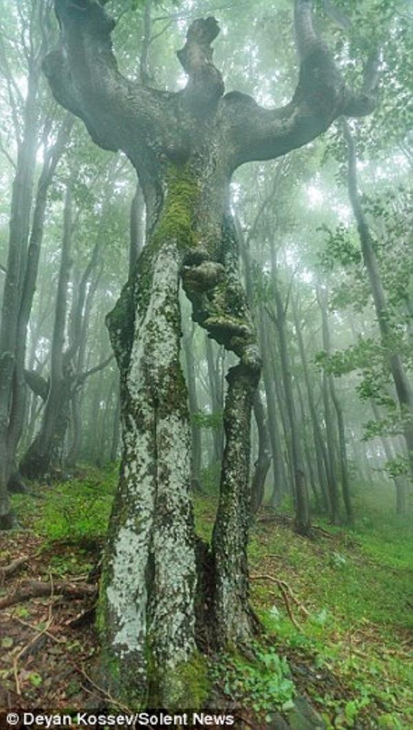 Thân cây có hình dáng giống như một người khổng lồ có đôi chân với cơ bắp cuồn cuộn, hai cánh tay, lồng ngực và một cái đầu.