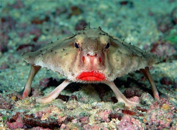 Loài cá này còn có tên là cá môi đỏ. Chúng là cá biển nhưng vẫn có thể sống tốt trong môi trường bể nuôi.