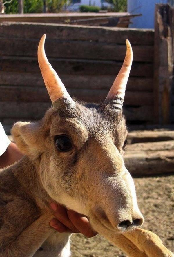 Loài vật này xuất xứ từ các đồng cỏ nằm giữa châu Âu và châu Á nhưng nay đã được liệt vào danh sách có nguy cơ tuyệt chủng.