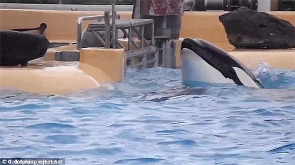 Trong một lần khác, Morgan đã lao đầu mình vào cánh cửa sắt để cố gắng thoát khỏi bể bơi nhỏ hẹp và chật chội.