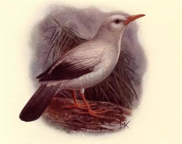 Loại sáo này có kích thước lớn hơn quạ, lông trắng, phần cánh và đuôi có màu đen, mỏ và chân có màu vàng rất đẹp. Chim thường phân bố ở khu vực đảo Rodrigues và cácđảo lân cận của nước Cộng hòa Mauritius. Loại chim này được xác định là đã tuyệt chủng từ cuối thế kỷ 18.