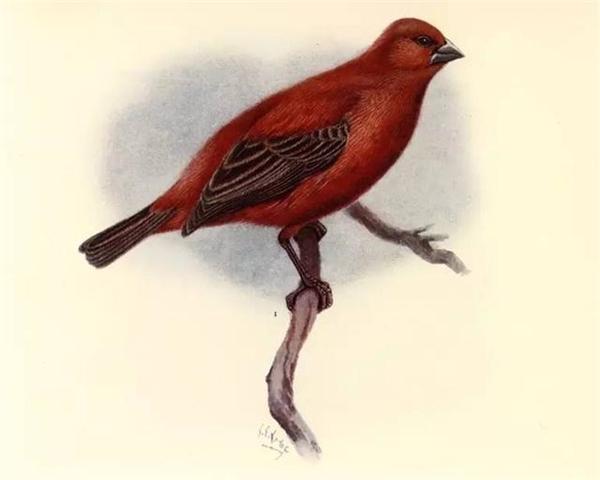 Loài chim này chỉ còn được biết đến trong tranh vẽ. theo mô tả, chim có bộ lông màu đỏ và đôi cánh màu nâu sẫm, đuôi có viền màu nâu.