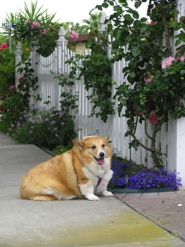 Muốn leo rào, ngắt hoa tặng người yêu nhưng tiếc rằng quá béo nên ngậm ngùi bỏ cuộc. (Ảnh: Internet)
