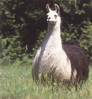 Bi kịch của con lạc đà không có bướu. (Ảnh: Internet)