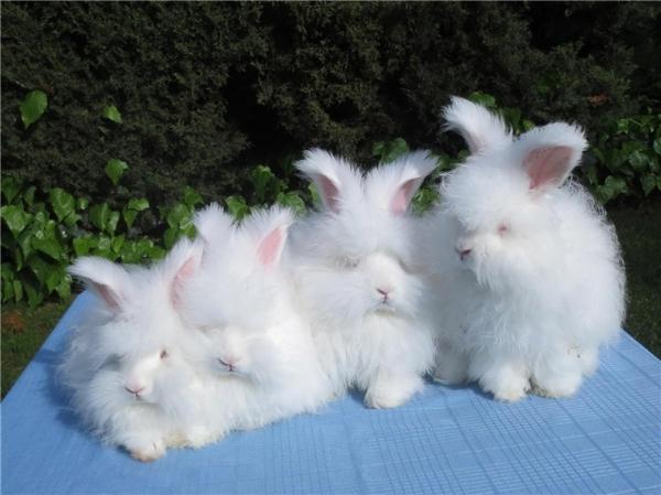 thỏ lông xù nhất thế giới