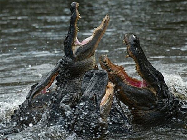 May mắn là cụ ông đã có thể thoát khỏi bầy cá sấu
