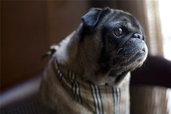 Bé chó 1 mắt vinh quang làm nhân viên chăm sóc khách của khách sạn lớn