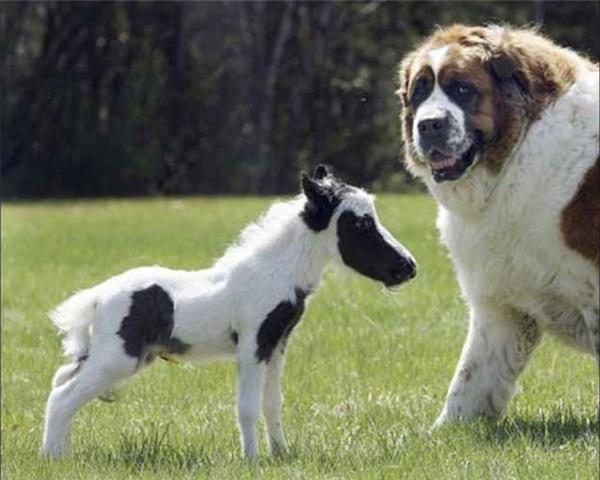 """Trên đời lại có cảnh ngựa """"tí hon"""" gặp gỡ chó """"khổng lồ"""" thế này đây."""