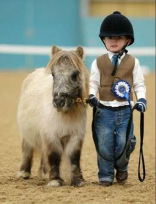 Không những thế, các em ngựa này còn có thể được huấn luyện để đi thi.