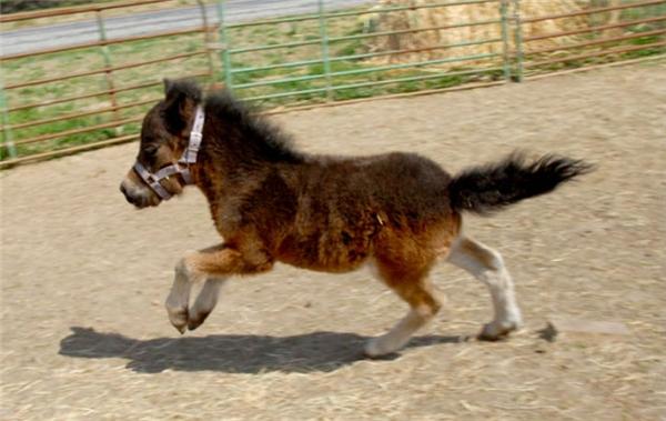 Những chú ngựa này tuy nhỏ con, lùn lùn thế nhưng rất siêng năng và giỏi giang, làm được khối việc luôn đấy.