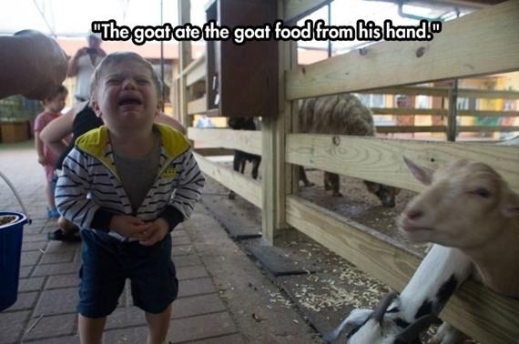 Đút thức ăn cho con dê và con dê nó ăn mất.