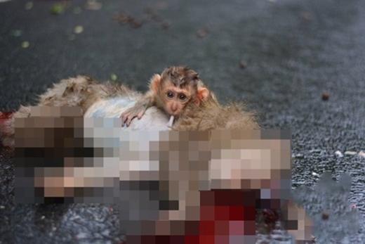 Chú khỉ con không hề hay biết mẹ mình đã chết.