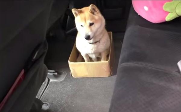 Có một chú chó bị kẹt trong cái hộp và không biết phải làm sao để thoát ra.