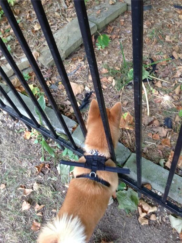 Vì nó hay trốn rào đi chơi nên phải đeo khúc cây trên lưng.