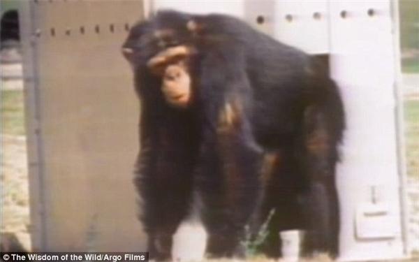"""Lúc đó những con tinh tinh này bị """"thải"""" ra khỏi một phòng thí nghiệm vì người ta không còn cần đến chúng nữa."""