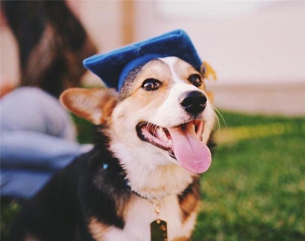 Nghiêng mình thán phục chú chó corgi tốt nghiệp đại học danh tiếng