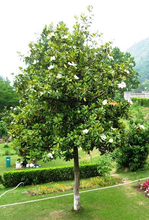 Đây là cây sen núi thuộc loài thân gỗ. (Ảnh: Internet)
