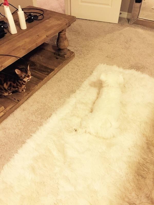 Mèo ta đang ngơ ngác không biết chú cún trắng biến đi đâu mặc dù đang ở ngay trước mặt.