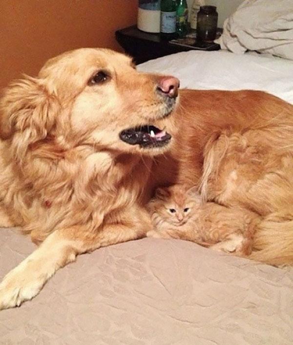 Vấn đề không nằm ở con chó, mà nằm ở con mèo nhỏ xíu cơ.