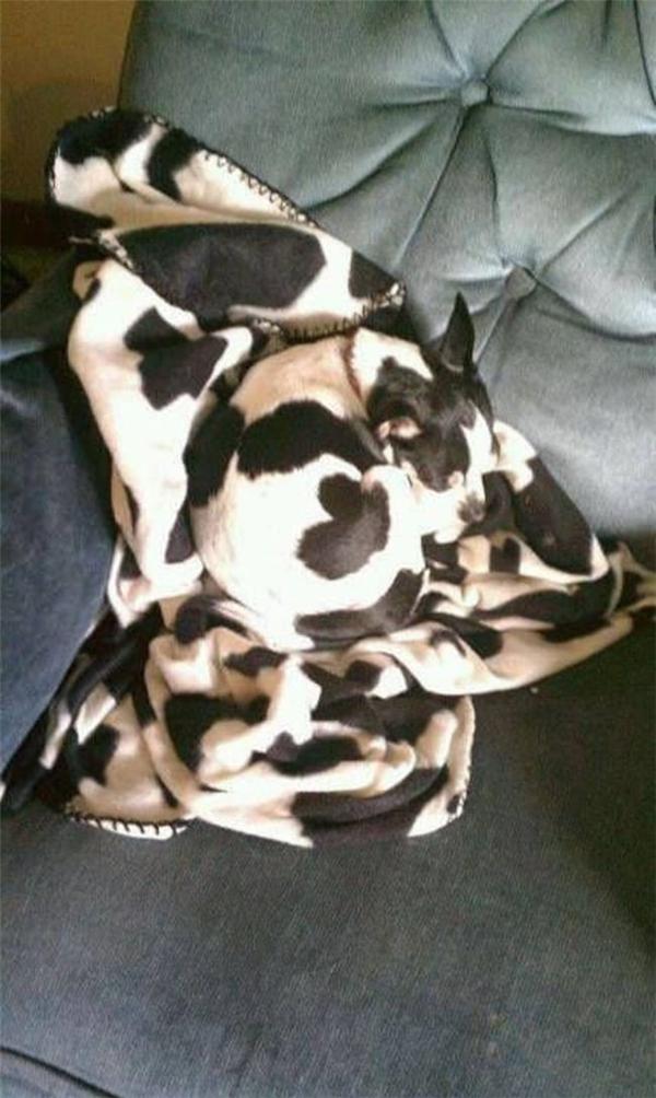 Chỉ cần một tấm chăn có màu thích hợp là quá đủ để ẩn thân rồi!