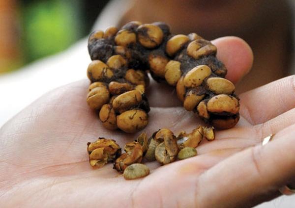 Phân chồn chứa hạt cà phê để tạo ra loại thức uống hảo hạng, khiến nhiều người mong muốn được thưởng thức một lần.