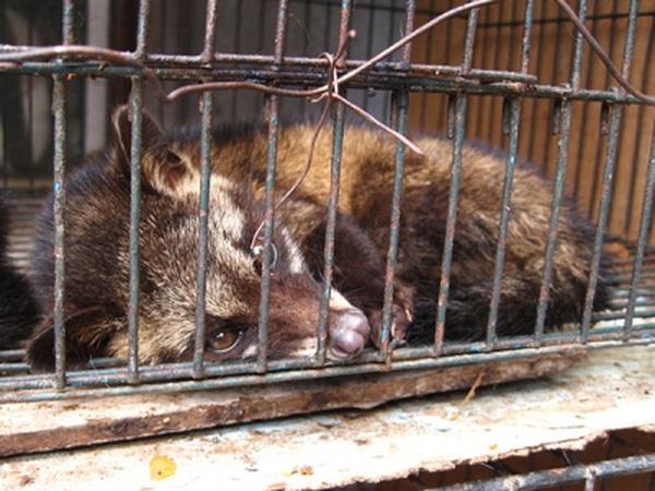 Nhiều con chồn bị vắt kiệt sức lao động và chết dần chết mòn.