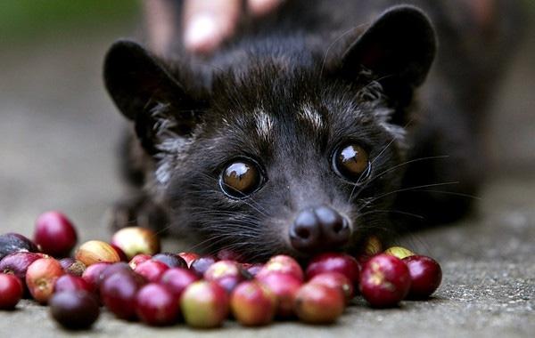 Một số nước đang kêu gọi tẩy chay cà phê chồn để giải cứu những con chồn đáng thương.