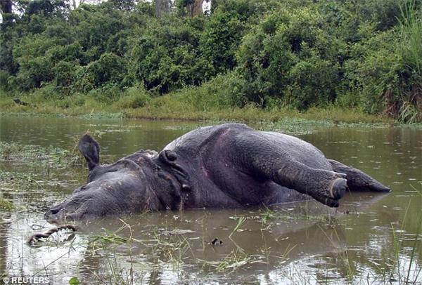 Tê giác cái bị húc chết sau khi từ chối giao phối với 2 con đực.