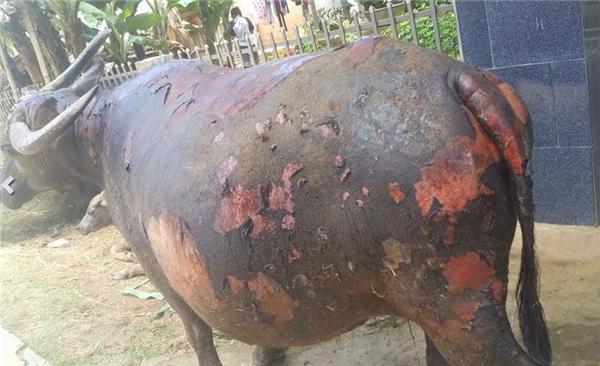 Hình ảnh chú trâu cái đang mang bầu 7 tháng bị thương nặng trong trận cháy vừa qua. (Ảnh: Internet)