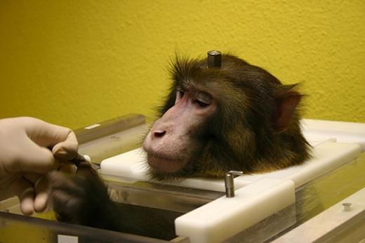 Trong khoa học cũng ra bộ luật không được phép thí nghiệm khỉ hình người dưới bất kì hình thức nào. (Ảnh: Internet)