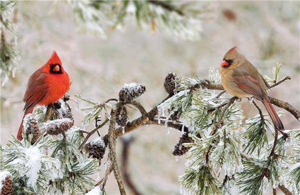 Một điều đặc biệt của loài chim giáo chủ đó là màu lông đỏ thắm chỉ có ở những chú chim đực, còn những chú chim cái chỉ có màu lông xám kém rực rỡ. (Ảnh: Internet)